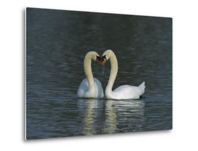 Mute Swan (Cygnus Olor) Pair Courting, Switzerland-Thomas Marent/Minden Pictures-Metal Print