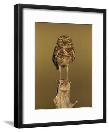 Burrowing Owl (Athene Cunicularia) Perched on Stump, Los Llanos, Venezuela-Thomas Marent/Minden Pictures-Framed Photographic Print