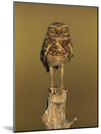 Burrowing Owl (Athene Cunicularia) Perched on Stump, Los Llanos, Venezuela-Thomas Marent/Minden Pictures-Mounted Photographic Print