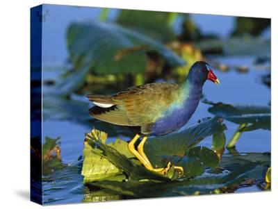 Purple Gallinule (Porphyrio Martinicus) Standing on Lily Pads, Everglades Nat'l Park, Florida-Tom Vezo/Minden Pictures-Stretched Canvas Print