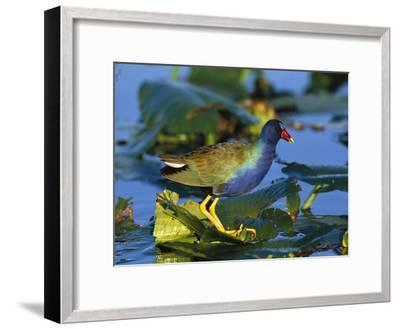Purple Gallinule (Porphyrio Martinicus) Standing on Lily Pads, Everglades Nat'l Park, Florida-Tom Vezo/Minden Pictures-Framed Photographic Print
