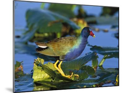 Purple Gallinule (Porphyrio Martinicus) Standing on Lily Pads, Everglades Nat'l Park, Florida-Tom Vezo/Minden Pictures-Mounted Photographic Print
