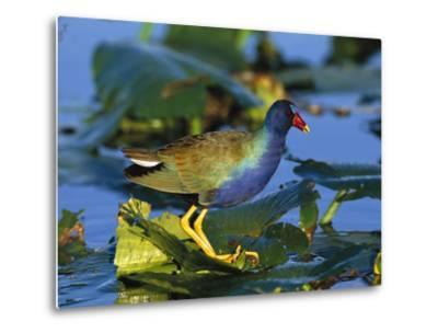 Purple Gallinule (Porphyrio Martinicus) Standing on Lily Pads, Everglades Nat'l Park, Florida-Tom Vezo/Minden Pictures-Metal Print