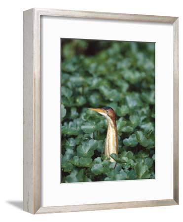 Least Bittern (Ixobrychus Exilis) Among Wetland Plants, Anahuac Nat'l Wildlife Refuge, Texas-Tom Vezo/Minden Pictures-Framed Photographic Print