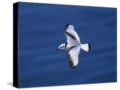 Black-Legged Kittiwake (Larus Tridactyla) Juvenile in Flight, Newfoundland-Tom Vezo/Minden Pictures-Stretched Canvas Print