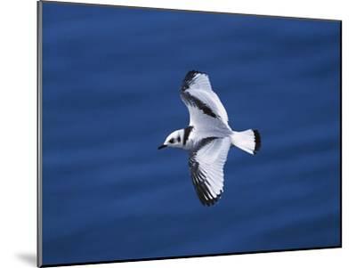 Black-Legged Kittiwake (Larus Tridactyla) Juvenile in Flight, Newfoundland-Tom Vezo/Minden Pictures-Mounted Photographic Print