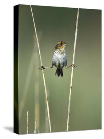 Saltmarsh Sharp-Tailed Sparrow (Ammodramus Caudacutus) Perched on Reeds, Long Island, New York-Tom Vezo/Minden Pictures-Stretched Canvas Print