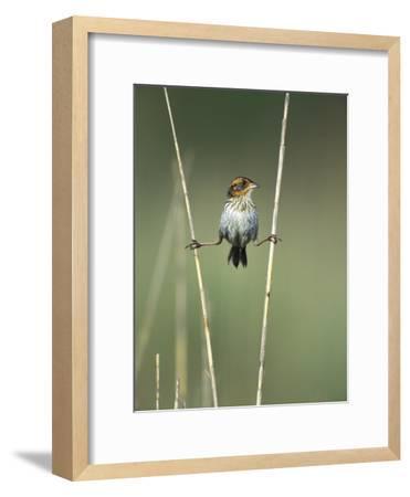 Saltmarsh Sharp-Tailed Sparrow (Ammodramus Caudacutus) Perched on Reeds, Long Island, New York-Tom Vezo/Minden Pictures-Framed Photographic Print