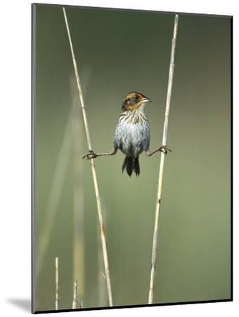 Saltmarsh Sharp-Tailed Sparrow (Ammodramus Caudacutus) Perched on Reeds, Long Island, New York-Tom Vezo/Minden Pictures-Mounted Photographic Print