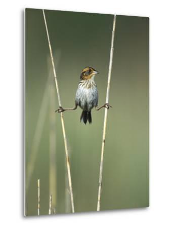 Saltmarsh Sharp-Tailed Sparrow (Ammodramus Caudacutus) Perched on Reeds, Long Island, New York-Tom Vezo/Minden Pictures-Metal Print