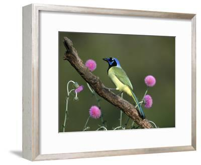 Green Jay (Cyanocorax Yncas) Perching, Rio Grande Valley, Texas-Tom Vezo/Minden Pictures-Framed Photographic Print