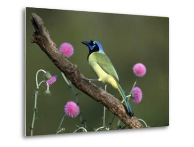Green Jay (Cyanocorax Yncas) Perching, Rio Grande Valley, Texas-Tom Vezo/Minden Pictures-Metal Print
