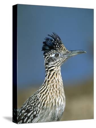 Greater Roadrunner (Geococcyx Californianus) Portrait, Green Valley, Arizona-Tom Vezo/Minden Pictures-Stretched Canvas Print