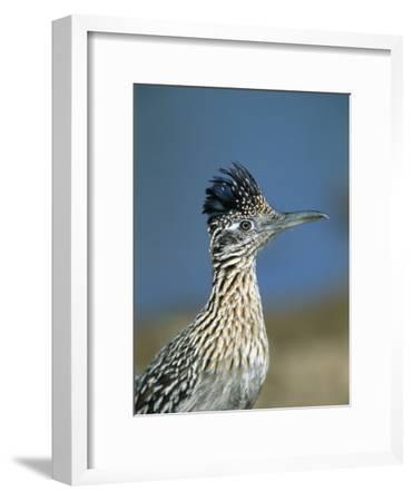Greater Roadrunner (Geococcyx Californianus) Portrait, Green Valley, Arizona-Tom Vezo/Minden Pictures-Framed Photographic Print