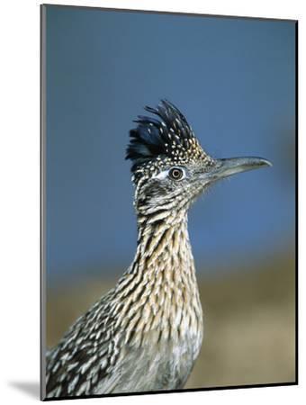 Greater Roadrunner (Geococcyx Californianus) Portrait, Green Valley, Arizona-Tom Vezo/Minden Pictures-Mounted Photographic Print