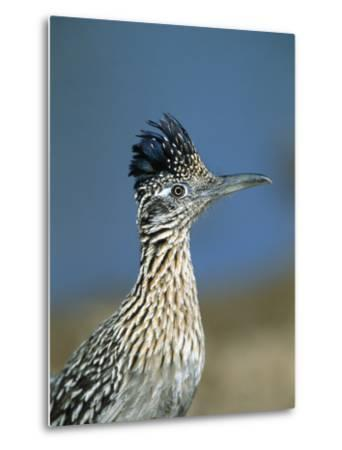 Greater Roadrunner (Geococcyx Californianus) Portrait, Green Valley, Arizona-Tom Vezo/Minden Pictures-Metal Print