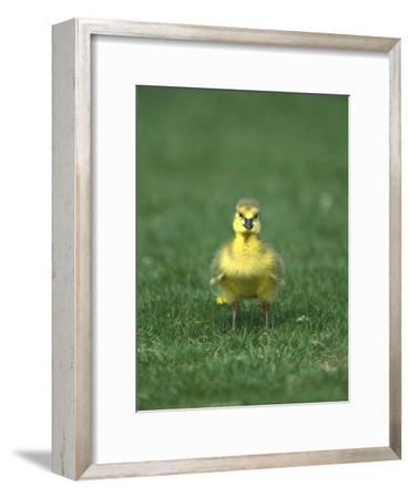 Canada Goose (Branta Canadensis) Gosling, Long Island, New York-Tom Vezo/Minden Pictures-Framed Photographic Print