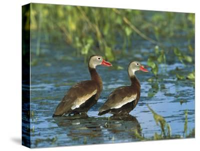 Black-Bellied Whistling Duck (Dendrocygna Autumnalis) Pair Wading, Rio Grand Valley, Texas-Tom Vezo/Minden Pictures-Stretched Canvas Print