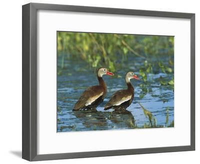 Black-Bellied Whistling Duck (Dendrocygna Autumnalis) Pair Wading, Rio Grand Valley, Texas-Tom Vezo/Minden Pictures-Framed Photographic Print
