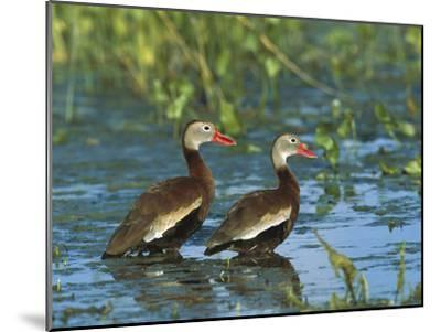 Black-Bellied Whistling Duck (Dendrocygna Autumnalis) Pair Wading, Rio Grand Valley, Texas-Tom Vezo/Minden Pictures-Mounted Photographic Print