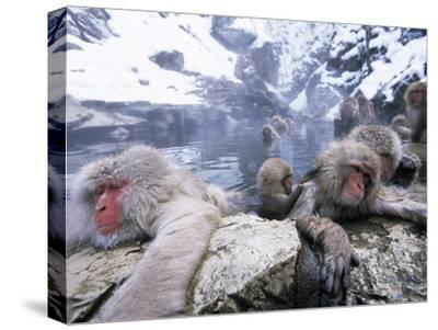 Japanese Macaque (Macaca Fuscata) Group Soaking in Hot Springs, Japan-Ingo Arndt/Minden Pictures-Stretched Canvas Print