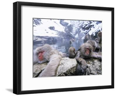 Japanese Macaque (Macaca Fuscata) Group Soaking in Hot Springs, Japan-Ingo Arndt/Minden Pictures-Framed Photographic Print