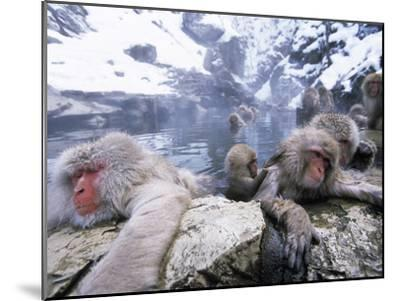 Japanese Macaque (Macaca Fuscata) Group Soaking in Hot Springs, Japan-Ingo Arndt/Minden Pictures-Mounted Photographic Print
