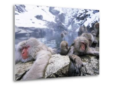 Japanese Macaque (Macaca Fuscata) Group Soaking in Hot Springs, Japan-Ingo Arndt/Minden Pictures-Metal Print