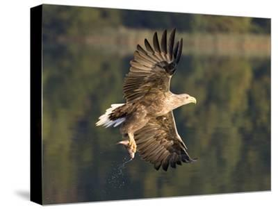 White-Tailed Eagle (Haliaeetus Albicilla) Flying, Norway-Ingo Arndt/Minden Pictures-Stretched Canvas Print