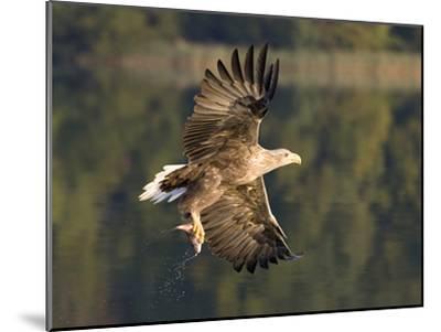 White-Tailed Eagle (Haliaeetus Albicilla) Flying, Norway-Ingo Arndt/Minden Pictures-Mounted Photographic Print