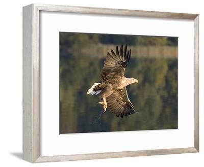 White-Tailed Eagle (Haliaeetus Albicilla) Flying, Norway-Ingo Arndt/Minden Pictures-Framed Photographic Print