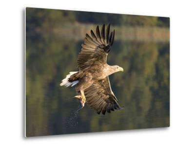 White-Tailed Eagle (Haliaeetus Albicilla) Flying, Norway-Ingo Arndt/Minden Pictures-Metal Print