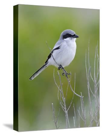 Loggerhead Shrike (Lanius Ludovicianus), Fort Desoto Park, Florida-Scott Leslie/Minden Pictures-Stretched Canvas Print