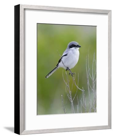 Loggerhead Shrike (Lanius Ludovicianus), Fort Desoto Park, Florida-Scott Leslie/Minden Pictures-Framed Photographic Print