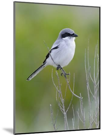 Loggerhead Shrike (Lanius Ludovicianus), Fort Desoto Park, Florida-Scott Leslie/Minden Pictures-Mounted Photographic Print