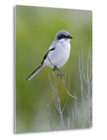 Loggerhead Shrike (Lanius Ludovicianus), Fort Desoto Park, Florida-Scott Leslie/Minden Pictures-Metal Print