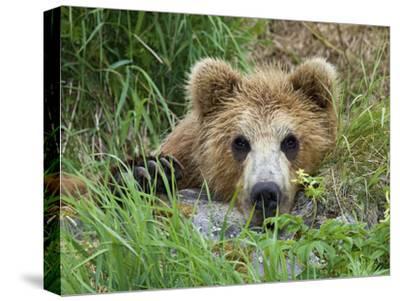 Brown Bear (Ursus Arctos) Cub, Kamchatka, Russia-Sergey Gorshkov/Minden Pictures-Stretched Canvas Print