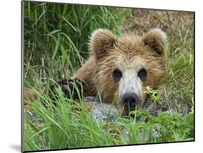 Brown Bear (Ursus Arctos) Cub, Kamchatka, Russia-Sergey Gorshkov/Minden Pictures-Mounted Photographic Print