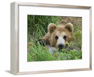 Brown Bear (Ursus Arctos) Cub, Kamchatka, Russia-Sergey Gorshkov/Minden Pictures-Framed Photographic Print