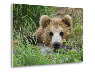 Brown Bear (Ursus Arctos) Cub, Kamchatka, Russia-Sergey Gorshkov/Minden Pictures-Metal Print