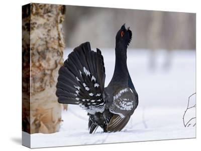 Capercaillie (Tetrao Urogallus) Male Displaying and Calling, Kamchatka, Russia-Sergey Gorshkov/Minden Pictures-Stretched Canvas Print