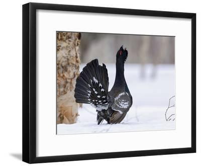 Capercaillie (Tetrao Urogallus) Male Displaying and Calling, Kamchatka, Russia-Sergey Gorshkov/Minden Pictures-Framed Photographic Print