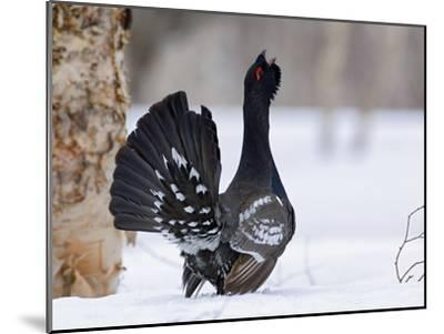 Capercaillie (Tetrao Urogallus) Male Displaying and Calling, Kamchatka, Russia-Sergey Gorshkov/Minden Pictures-Mounted Photographic Print