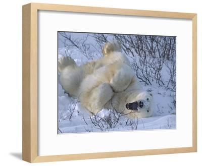 Polar Bear (Ursus Maritimus) Large Male Stretching and Yawning, Manitoba, Canada-Suzi Eszterhas/Minden Pictures-Framed Photographic Print