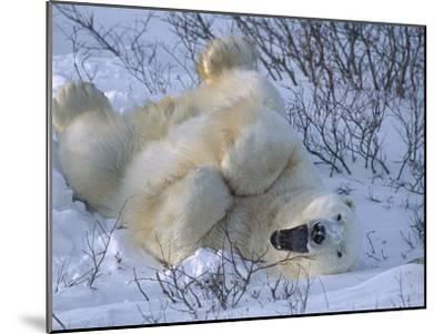 Polar Bear (Ursus Maritimus) Large Male Stretching and Yawning, Manitoba, Canada-Suzi Eszterhas/Minden Pictures-Mounted Photographic Print