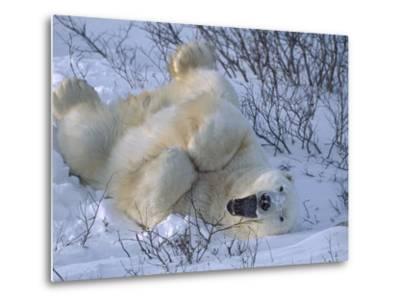 Polar Bear (Ursus Maritimus) Large Male Stretching and Yawning, Manitoba, Canada-Suzi Eszterhas/Minden Pictures-Metal Print