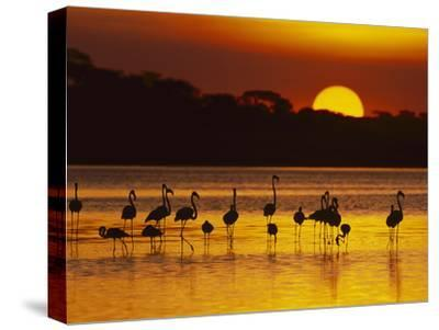 Lesser (Phoenicopterus Minor), Greater Flamingo (Phoenicopterus Ruber), Ngorongoro ConservationArea-Suzi Eszterhas/Minden Pictures-Stretched Canvas Print