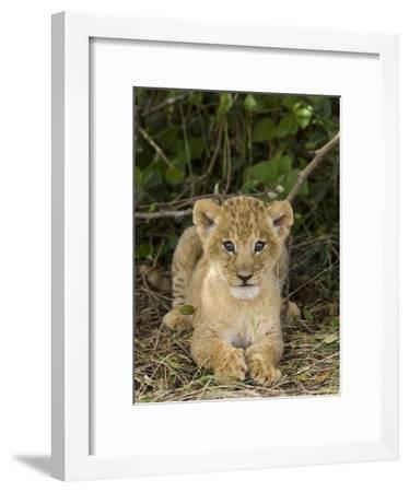 African Lion (Panthera Leo) Five Week Old Cub, Vulnerable, Masai Mara Nat'l Reserve, Kenya-Suzi Eszterhas/Minden Pictures-Framed Photographic Print