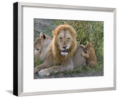 African Lion (Panthera Leo)Cub Playing with Adult Male, Vulnerable, Masai Mara Nat'l Reserve, Kenya-Suzi Eszterhas/Minden Pictures-Framed Photographic Print