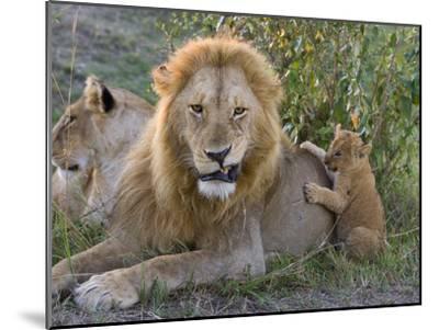 African Lion (Panthera Leo)Cub Playing with Adult Male, Vulnerable, Masai Mara Nat'l Reserve, Kenya-Suzi Eszterhas/Minden Pictures-Mounted Photographic Print